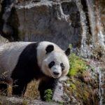 ahtarizoo-panda-lumi2-timo-ahopelto
